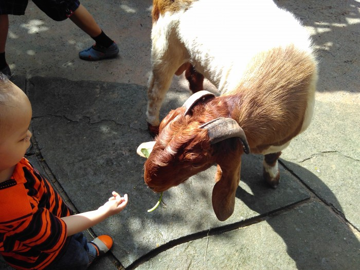Kambing-farm-in-the-city
